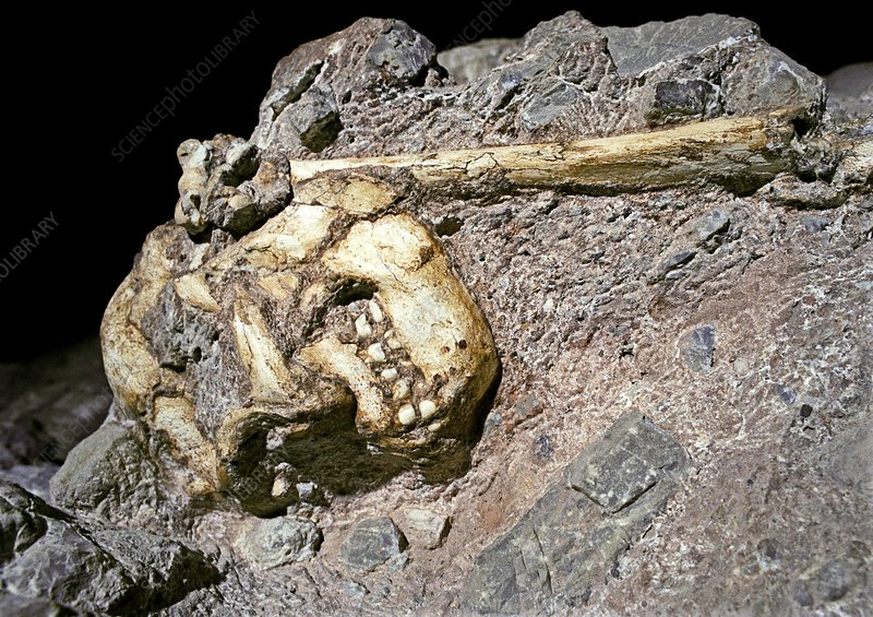 Australopithecus hominid remains
