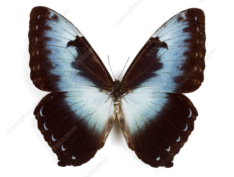 Male cisseis morpho butterfly