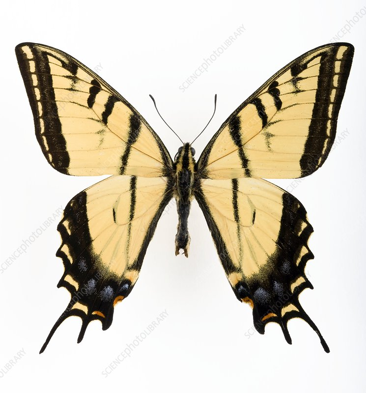 Two-tailed tiger swallowtail butterfly