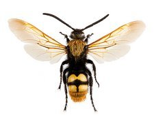 Scoliid solitary wasp