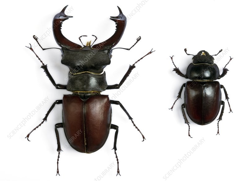 Male and female stag beetles