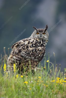 European eagle owl in grassland