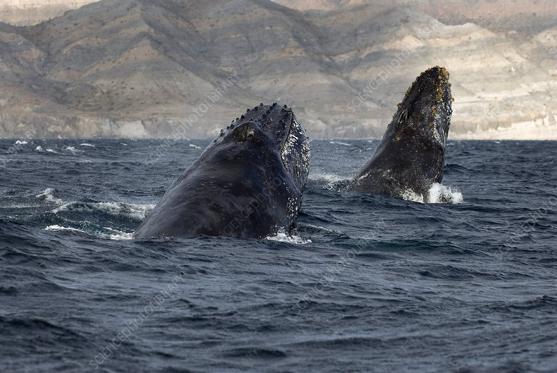 Humpback whales chasing each other