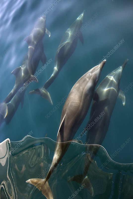 Bottlenose dolphins bow-riding