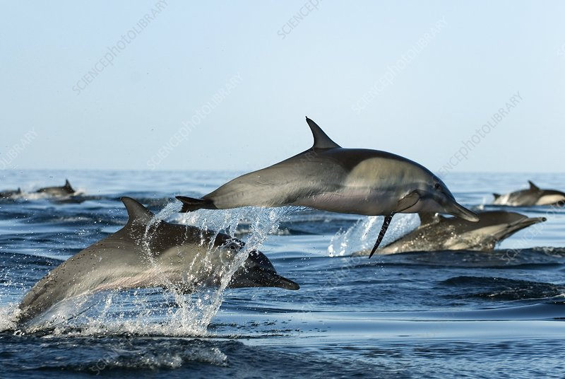 Common dolphins leaping