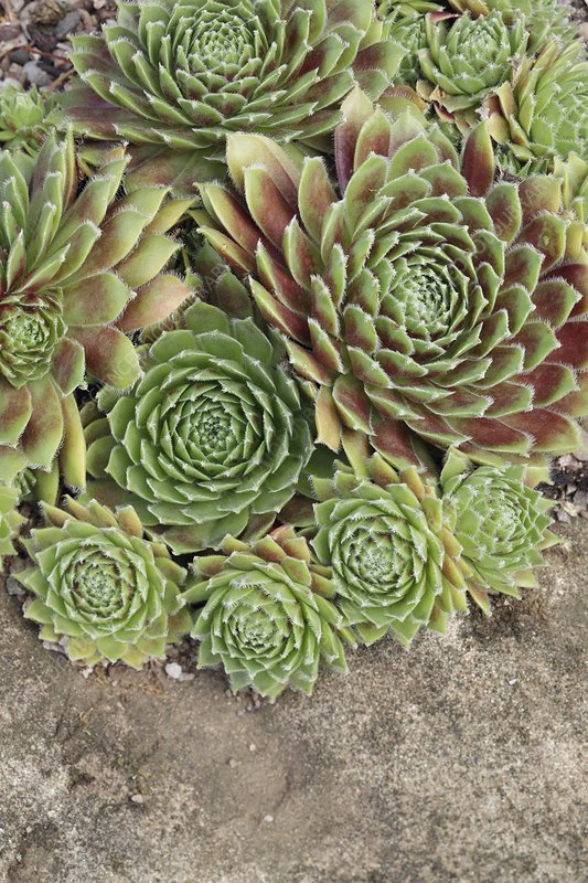 Sempervivum 'Lennik's Time'
