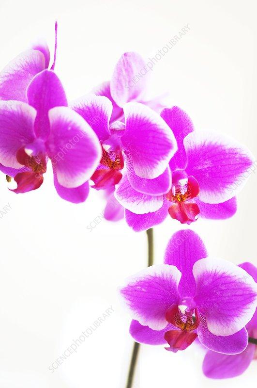 Doritaenopsis Hybridizer's Dream