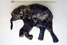 Lyuba, preserved woolly mammoth