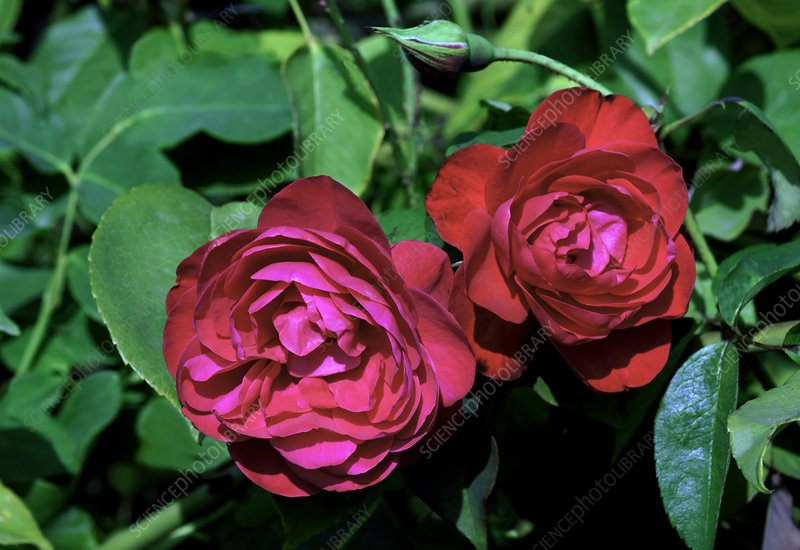 Rose (Rosa 'Bengale Rouge')
