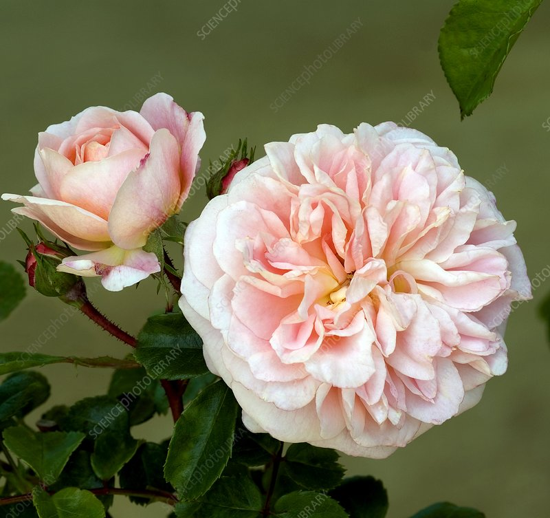 Rose (Rosa 'Courtyard')