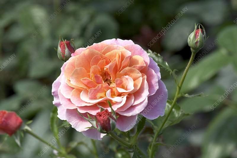 Rose (Rosa 'Francis James')
