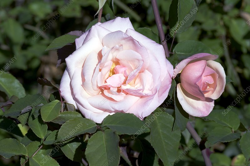 Rose (Rosa 'Jean Ducher')