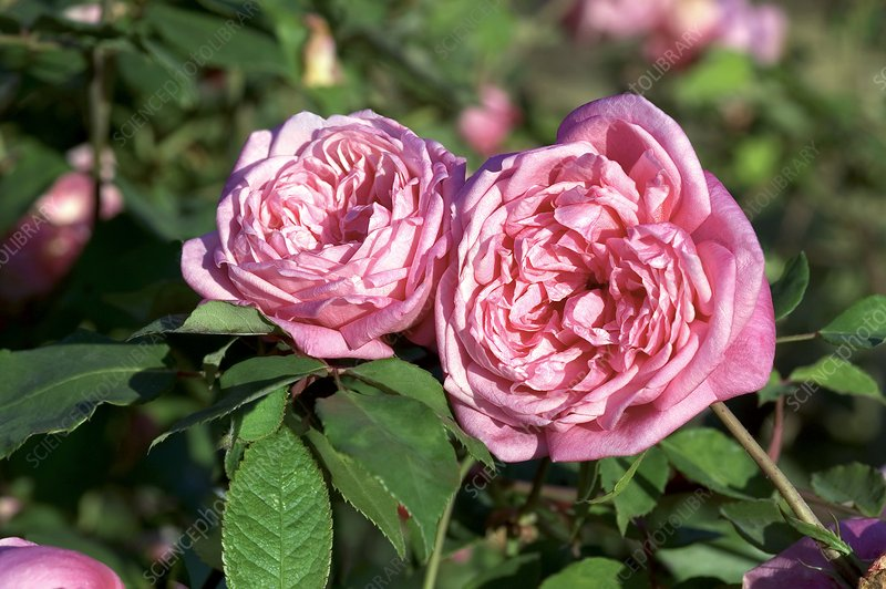 Rose (Rosa 'Mrs. B.R.Cant')