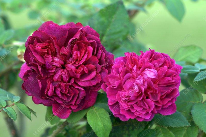 rose rosa 39 william shakespeare 39 stock image c007 3462. Black Bedroom Furniture Sets. Home Design Ideas