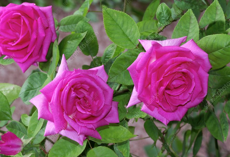 rose rosa 39 zephirine drouhin 39 stock image c007 3463. Black Bedroom Furniture Sets. Home Design Ideas