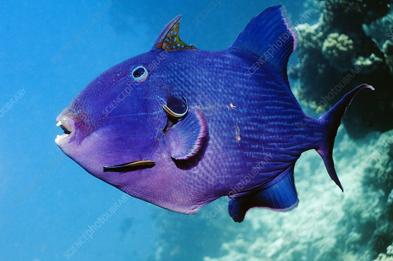 Blue triggerfish and cleaner wrasse