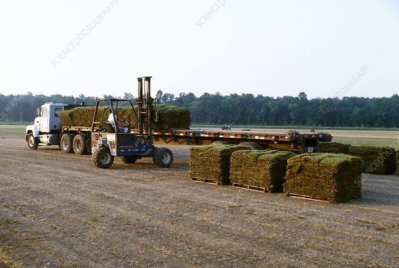 Harvested Bermuda grass sod