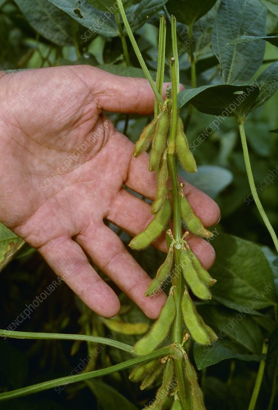 Immature soy bean crop