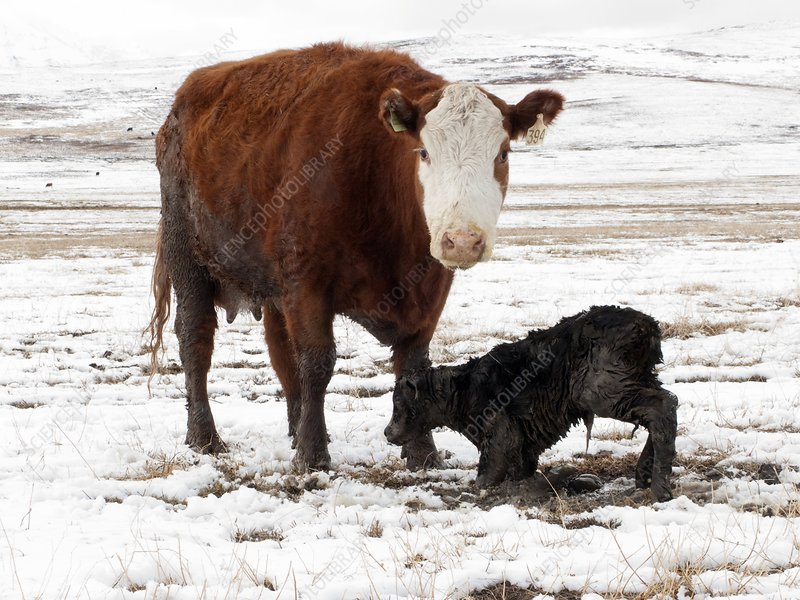 Cow and newborn calf in snow