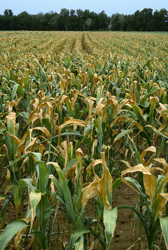 Drought affected maize