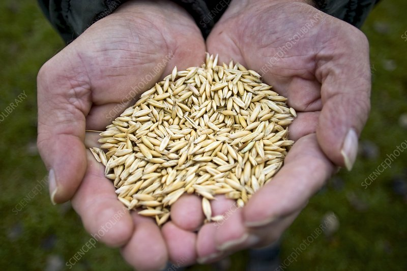 Harvested oat kernels