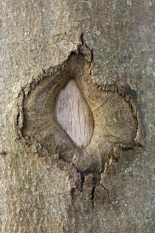Wound in a beech tree