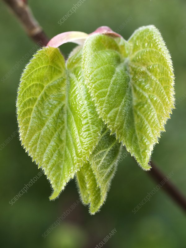 Young lime (Tilia cordata) leaves