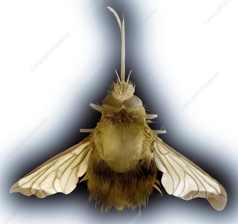 Large bee fly, SEM