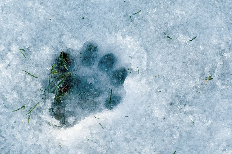 Otter footprint in snow