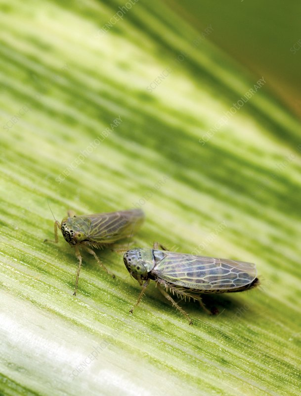 Black-faced leafhoppers