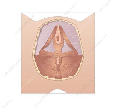 Ass Que Largest human female clitoris belle