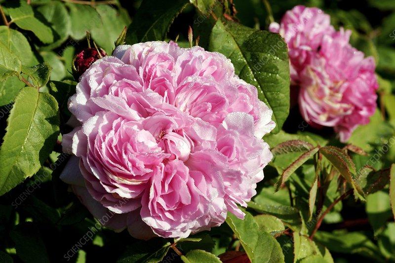 rose rosa 39 jacques cartier 39 stock image c007 4880. Black Bedroom Furniture Sets. Home Design Ideas