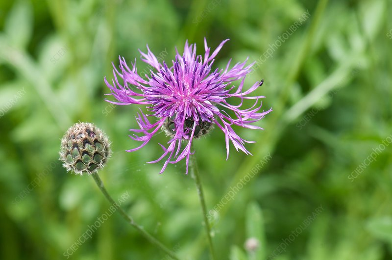Great knapweed (Centaurea scabiosa)