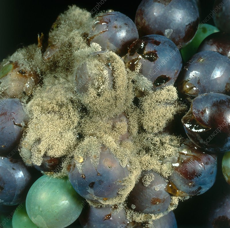 Grey Mold on Grapes