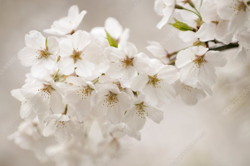 Yoshino cherry (Prunus x yedoensis)