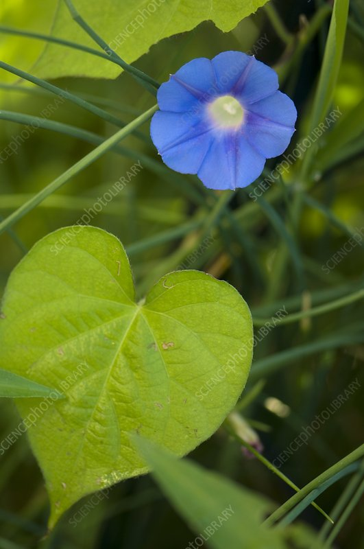 Morning Glory (Ipomoea hederacea)