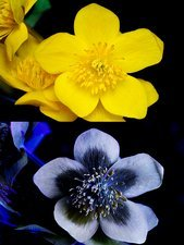 Marsh marigold in UV light
