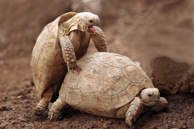 Greek tortoises mating