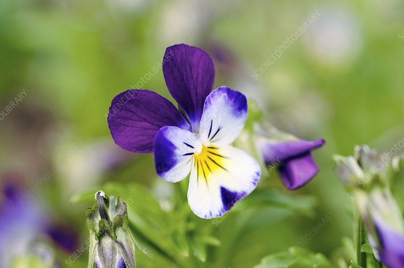 Heartsease Pansy (Viola tricolor)