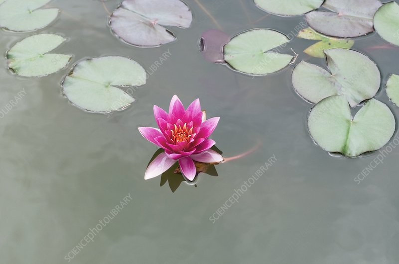 Water Lily (Nymphaea 'Rene Gerard')