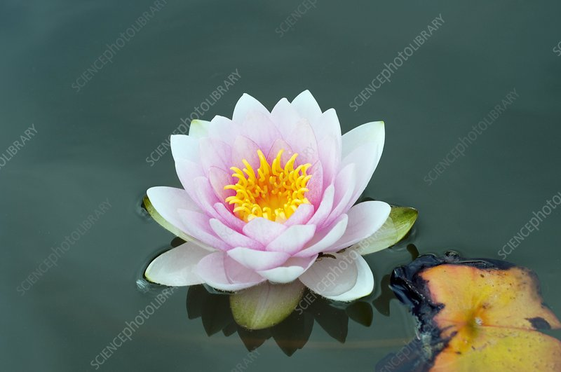 Water Lily (Nymphaea 'Darwin')