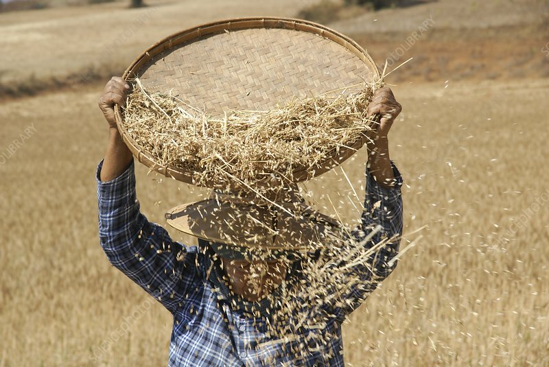 Myanmar Wheat harvest