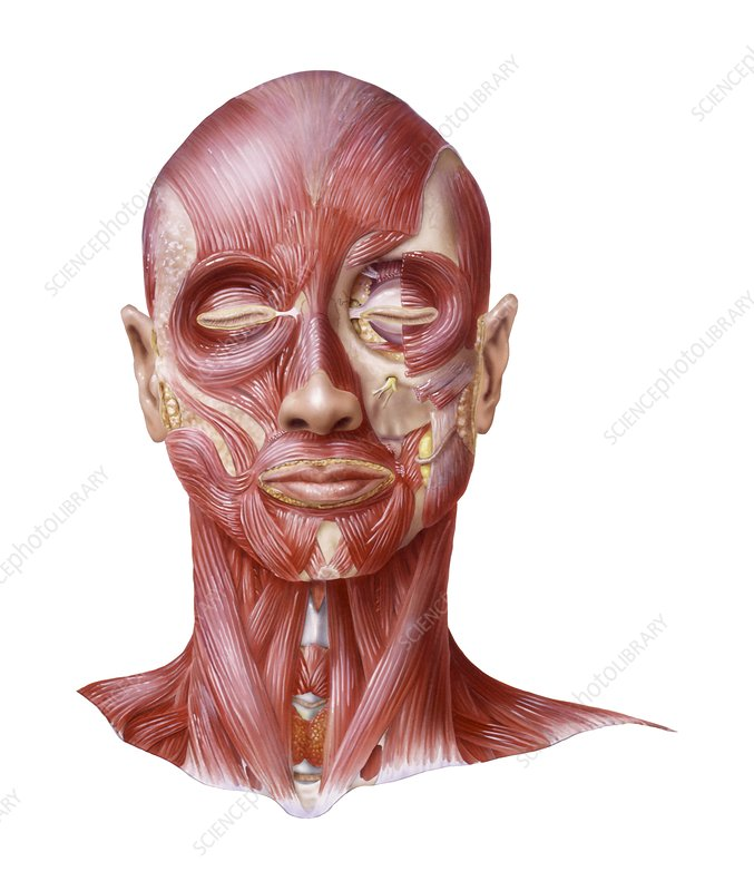 muscular system of the head artwork stock image c007