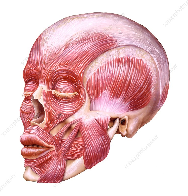 Muscular system of the head, artwork