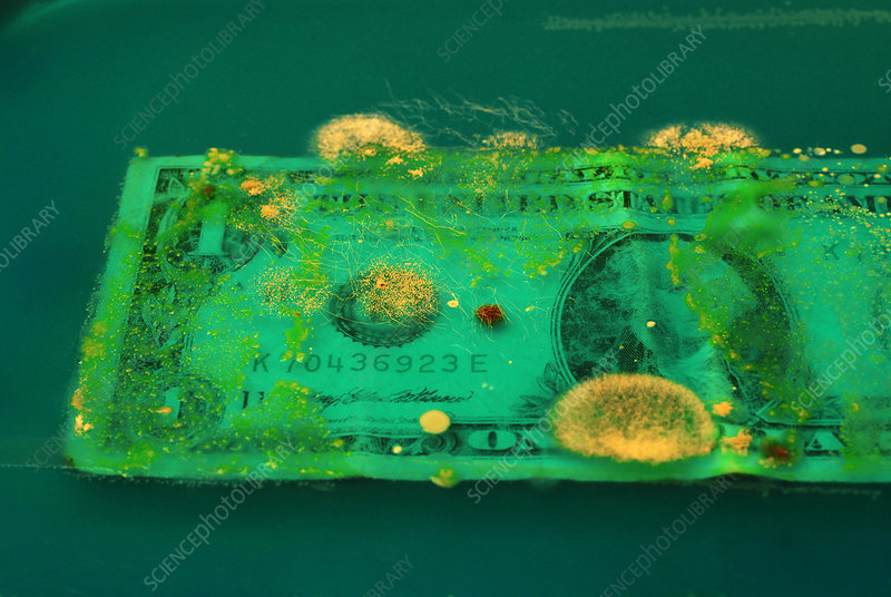 Bacteria growing on dollar bill