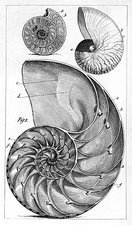 Engraving of a nautilus and an ammonite