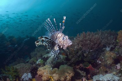 Red lionfish hunting over a reef