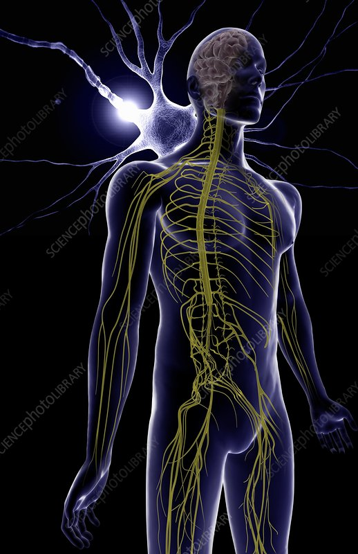 an illustration on the processes in the peripheral nervous system Metabolic neuropathies are nerve disorders that occur with diseases that disrupt the chemical processes in the body  central nervous system - illustration.
