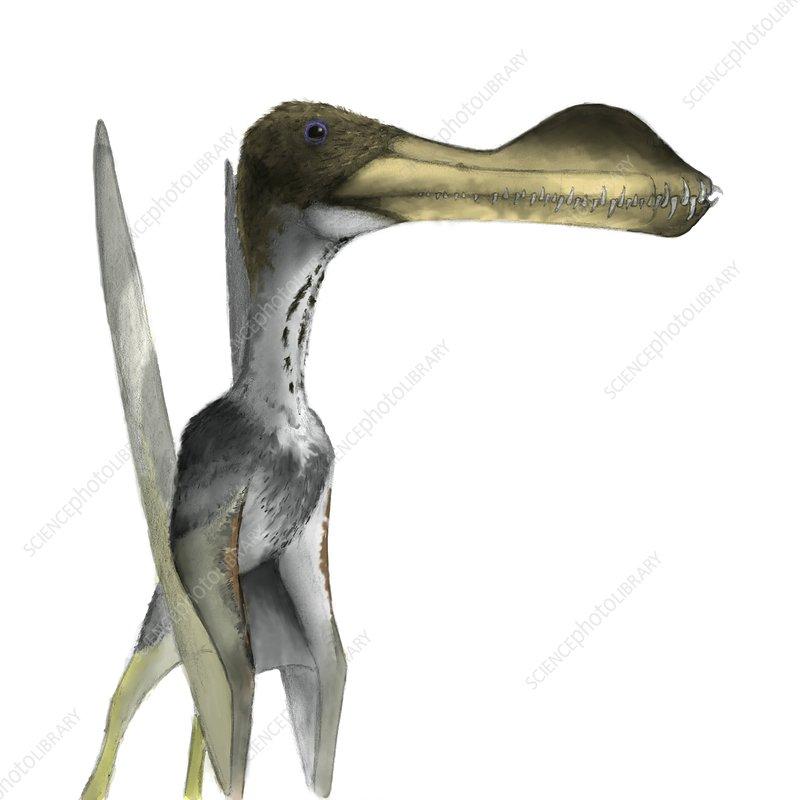 Pterosaur, Coloborhynchus, artwork