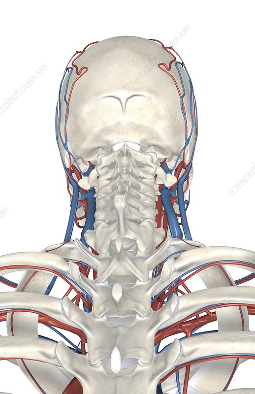 veins and arteries of neck. The veins and arteries are